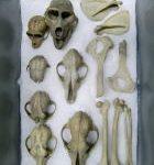獣骨の鑑定